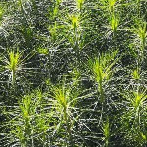 Посадочный материал для создания лесных культур